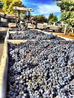 Bins Full of Grapes at Harvest