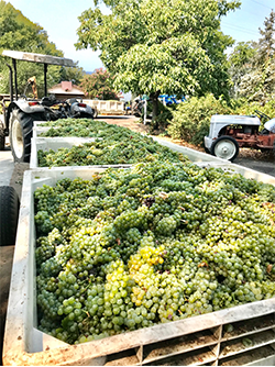 Sauvignon Blanc Coming In